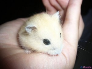 "A cute ""Pudding Winter White"" hamster."